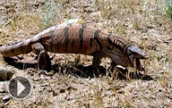 The Kyzylkum desert in Uzbekistan. Animals and plants in the desert.