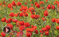 Beautiful grounds of poppies